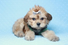 PennySaver | Dogs for Sale in New York