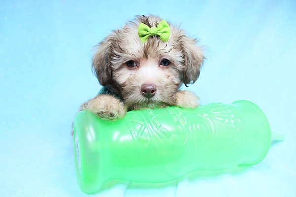 PennySaver | Cute Adorable Teacup and Toy Malshi Puppies For